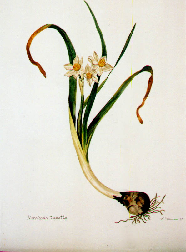 Narcissus (Watercolour) By Eveline Marron