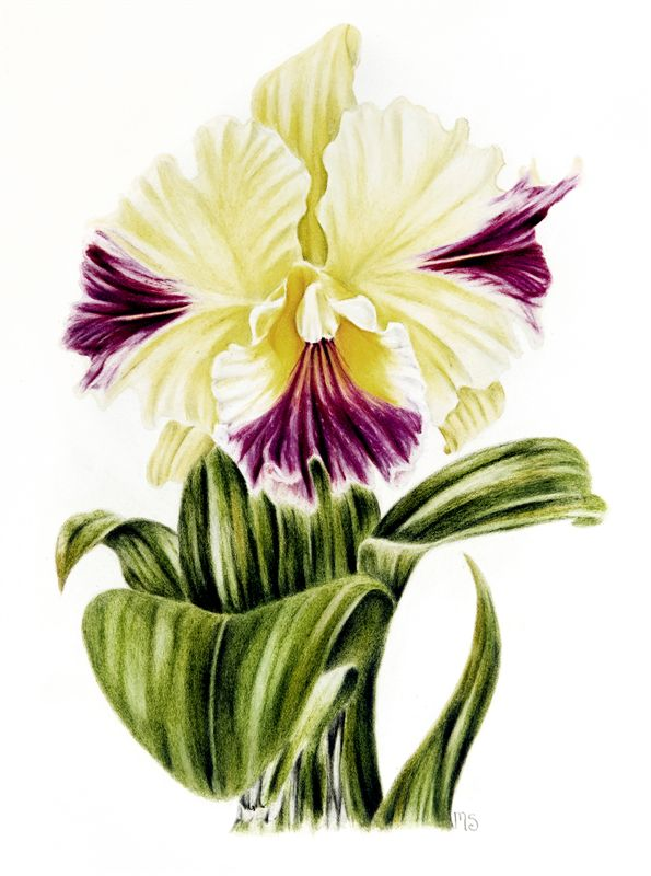 Florals with Coloured Pencils -- Clarkson Society of Artists