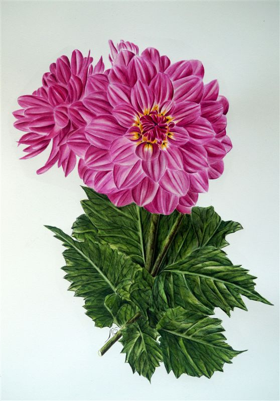 Dahlia in Watercolour Project Package