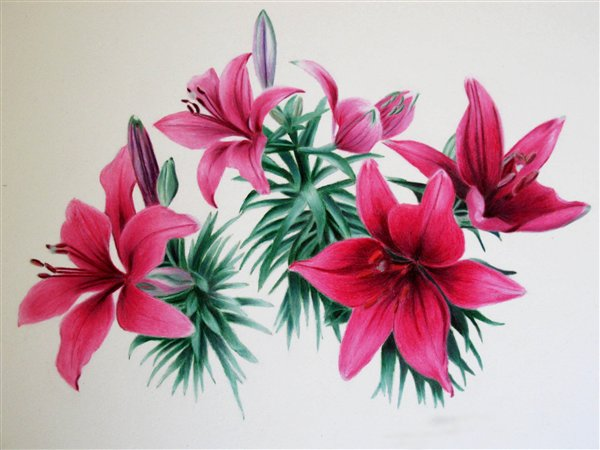 Lilies in Coloured Pencil By Suzanne Whistance Smith