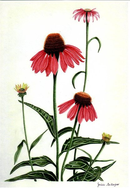 Purple Coneflower (Watercolour) By Jackie Gallagher